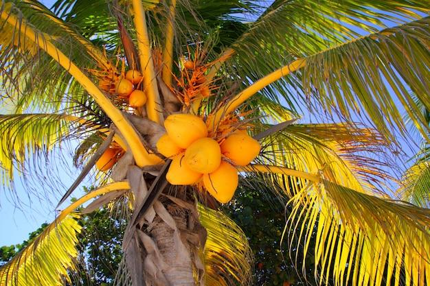 Noix de coco dans le symbole tropical détail palmier