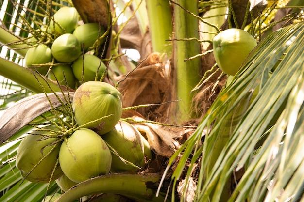 Noix de coco fraîche sur l'arbre