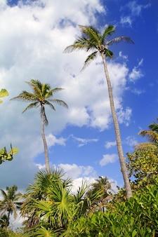 Noix de coco palmiers ciel typique tropical