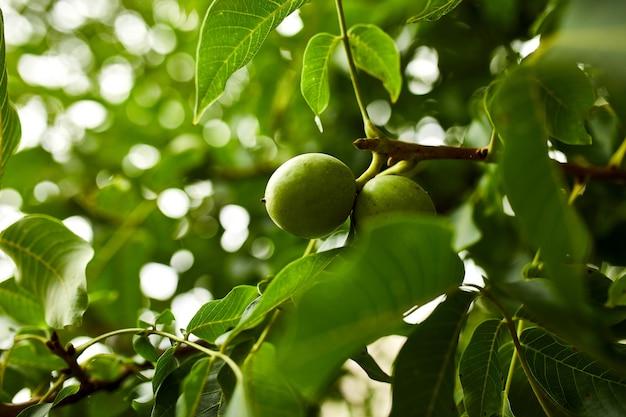 Noix dans l'arbre