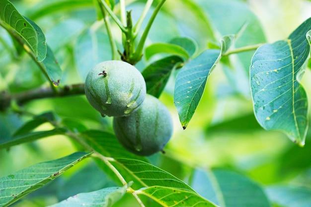Noix dans une coquille verte et feuilles sur une branche. mise au point sélective.