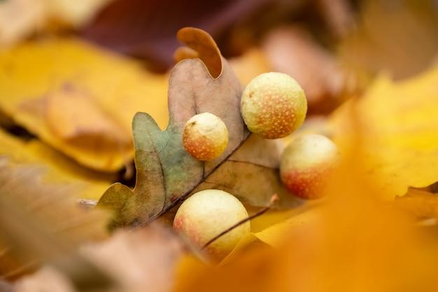 Les noix d'encre sont un type particulier de galles formées par les larves sur la feuille de chêne