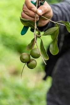 Noix de macadamia sur l'arbre à feuilles persistantes