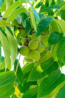 Noix vertes sur un arbre. beaucoup de noix sur un arbre, nature
