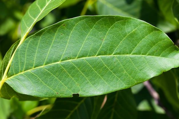 Noix vertes non mûres en été, un arbre avec des noix vertes dans la culture de noix
