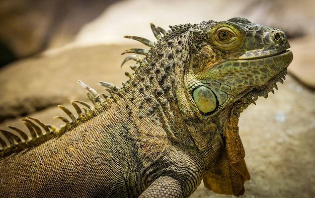 Nom latin : iguane iguane. taille 150 cm au total