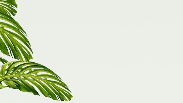 De nombreuses feuilles tropicales de monstera
