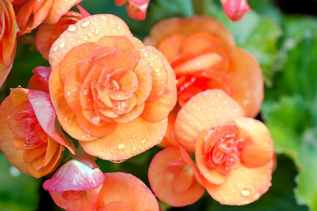 De nombreuses fleurs brillantes de bégonias tubéreux (begonia tuberhybrida)