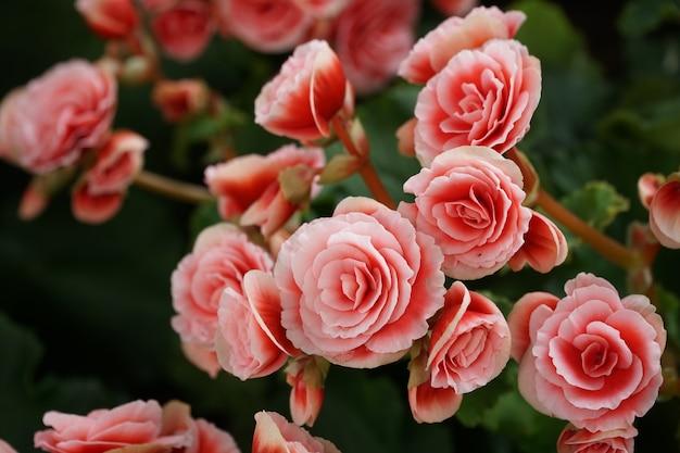 Nombreuses fleurs brillantes de bégonias tubéreux