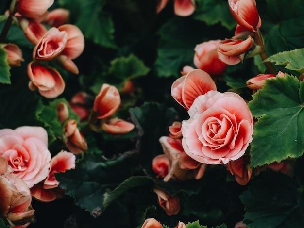 De nombreuses fleurs brillantes de bégonias tubéreux