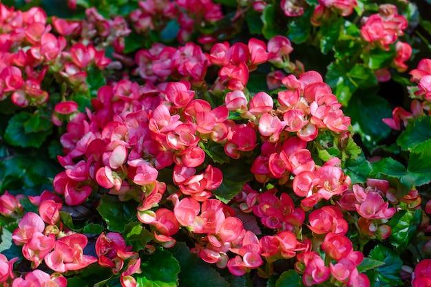 Nombreuses fleurs lumineuses de bégonias tubéreux (begonia tuberhybrida) dans le jardin