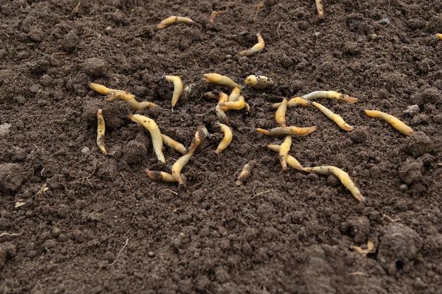 De nombreuses grosses limaces jaunes se sont répandues sur le sol dans différentes directions.