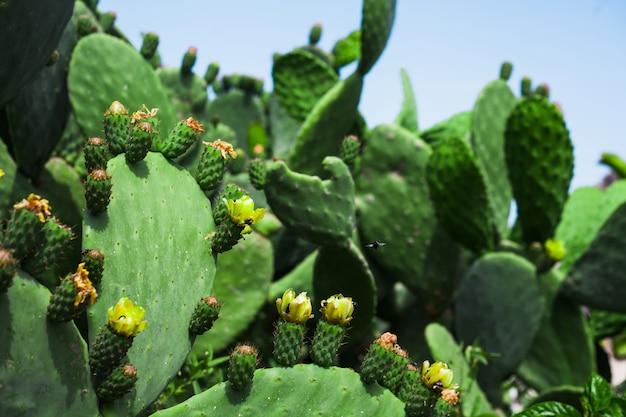 De nombreux cactus en fleurs contre le ciel