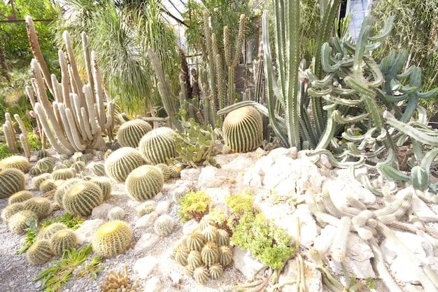 De nombreux cactus verts en serre