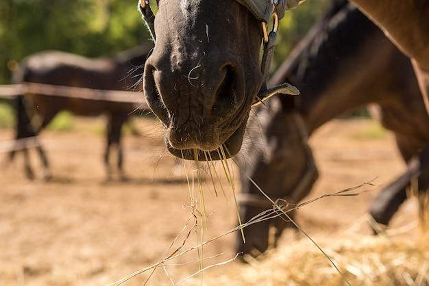 De nombreux chevaux mangent du foin en été. gros plan sur le museau d'un cheval.