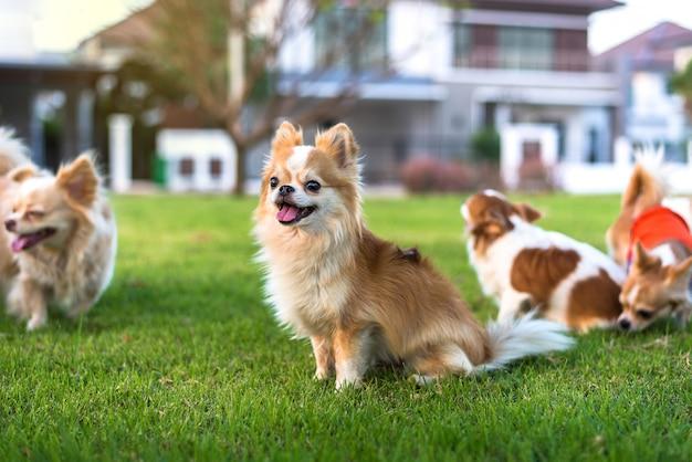 De nombreux chiens chihuahua sont assis sur l'herbe