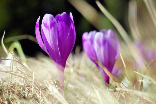 De nombreux crocus en fleurs