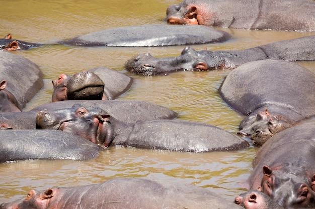 De nombreux hippopotames dans la rivière masai au parc national de masai mara au kenya, en afrique.