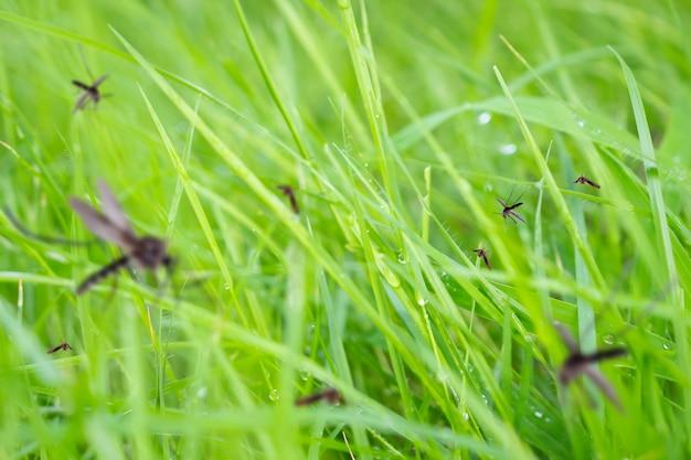 De nombreux moustiques dans le champ d'herbe verte