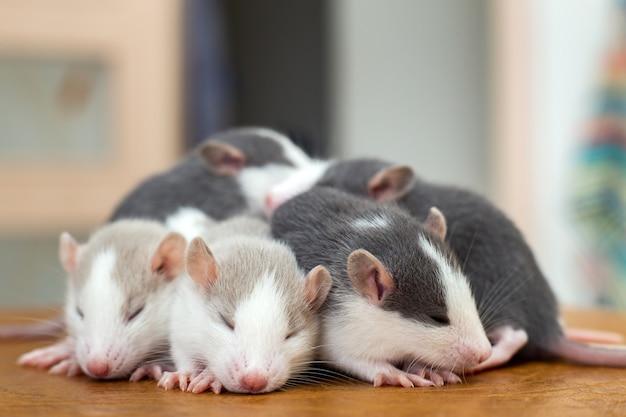 De nombreux petits bébés rats rigolos se réchauffent les uns sur les autres.