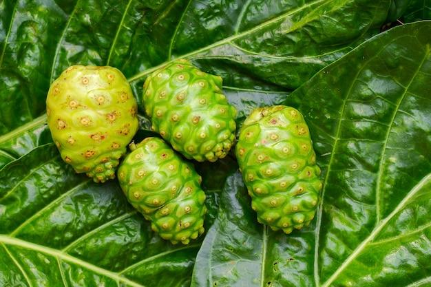 Le noni tahitien great morinda green est une herbe sur fond de feuilles vertes