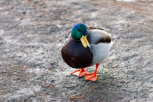 Nourrir les canards sauvages au printemps. canards de la ville sur la rive du lac.