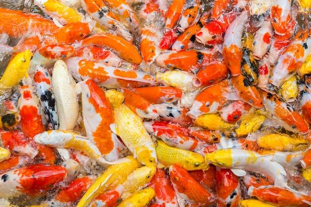 Nourrir les carpes en étang. carpe de fantaisie colorée, poisson koi entassés en compétition pour la nourriture.