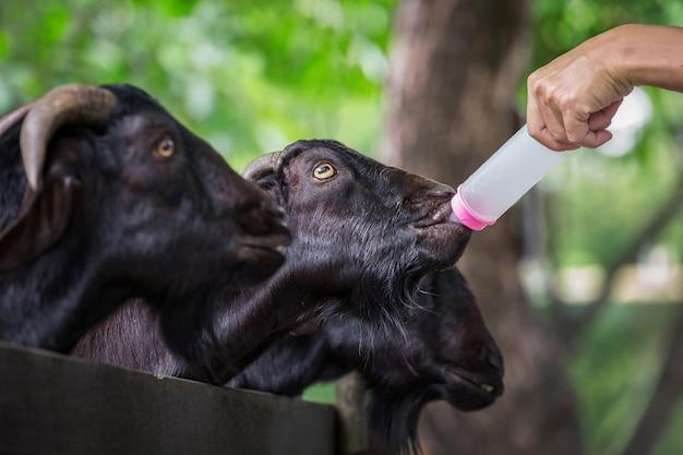 Nourrir une chèvre au zoo.