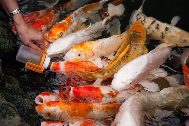 Nourrir les poissons koi avec un biberon.