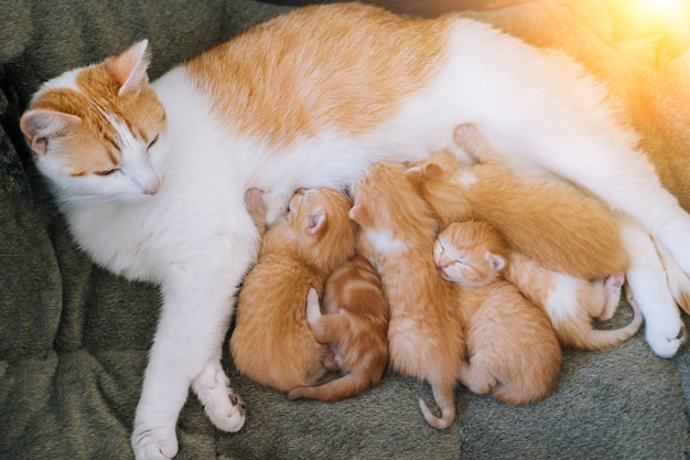 Le nouveau-né chat rouge boit le lait de sa mère