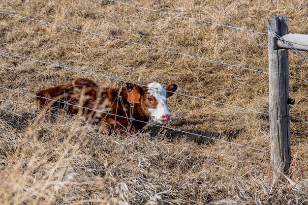 Un nouveau-né veau couché dans l'herbe en saskatchewan, canada