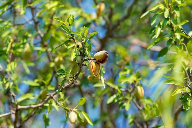 Nouvelle récolte d'amandes, amandes sur l'arbre, sicile, italie.