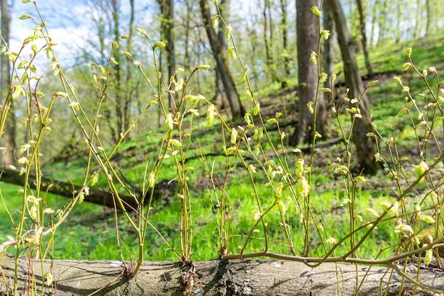 Nouvelles branches vertes de printemps d'arbre en forêt