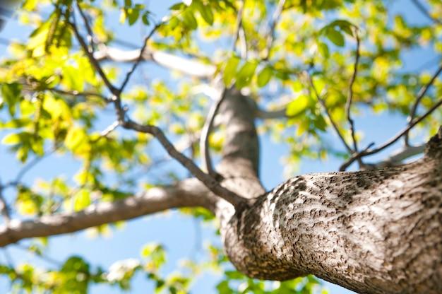 Noyer avec des feuilles vertes sur une vue de dessous de fond de ciel bleu