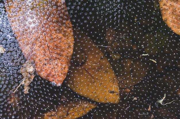 Nuage de têtards flottant à la surface de l'eau