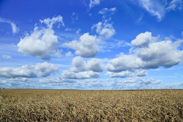 Nuages dans le ciel au-dessus d'un champ de maïs doré