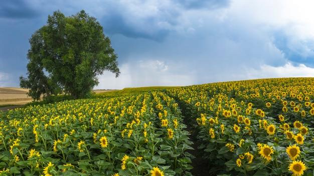 Nuages d'orage sur un champ de tournesol en fleurs.