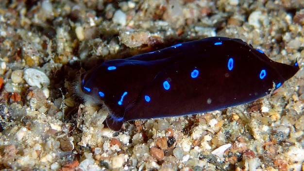 Nudibranche, limace de mer chelidonura livida dans la mer rouge, eilat, israël