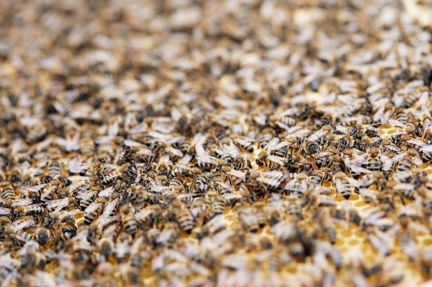 Nuée d'abeilles dans le rucher