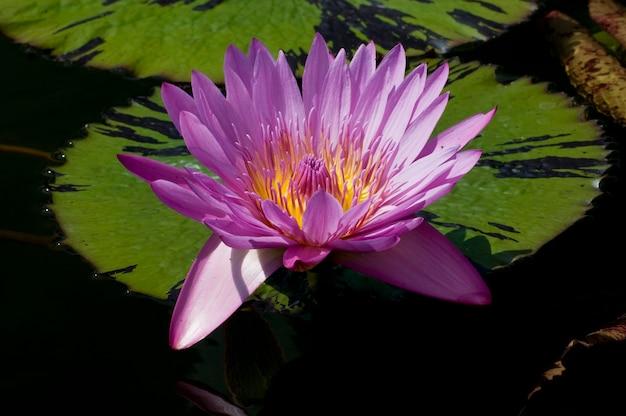 Nymphaea, un genre de plantes aquatiques, également connu sous le nom de nénuphar sur un nénuphar.