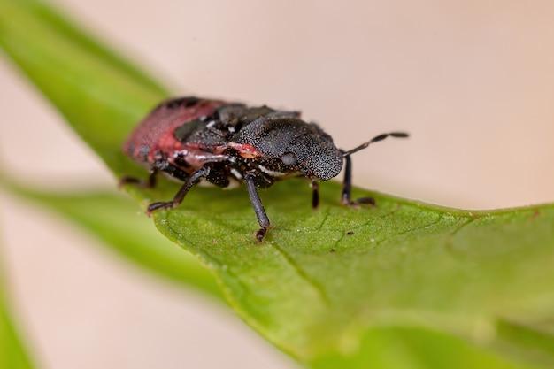 Nymphe de punaise de la famille des pentatomidae qui imite les fourmis tortues céphalotes