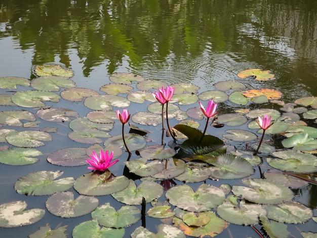 Nymphéas roses ou nymphaea commencent à fleurir sur la surface d'un étang abondant