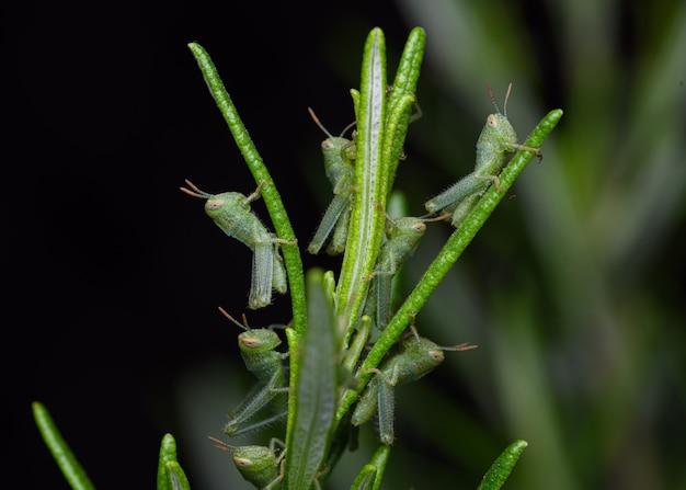 Nymphes d'anacridium aegyptium, la sauterelle égyptienne ou le criquet égyptien dans le buisson de romarin