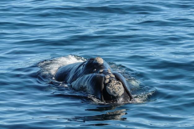 Observation Des Baleines Et Des Dauphins En Patagonie, Argentine Photo Premium