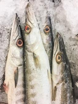 Obtus barracuda fish