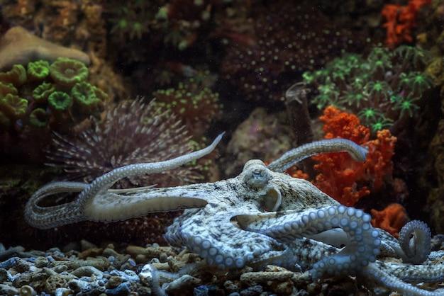 Octopus s'installe sur le fond de la roche