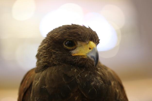 Oeil d'aigle brun