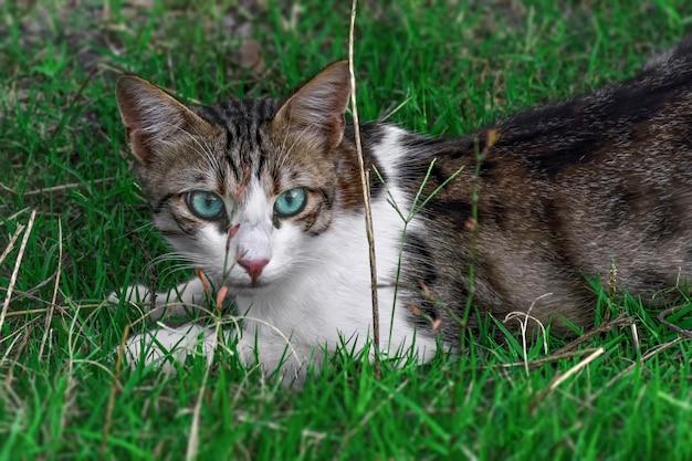 Oeil bleu, chat dans l'herbe verte