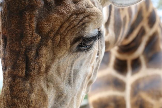 Œil de girafe