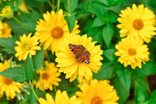Oeil de paon papillon sur gros plan fleur jaune